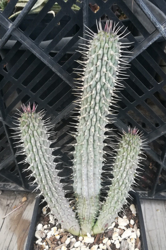 Hoodia gordonii Huge Stems Pincushion Soft Rubber Spines Huernia Batch C