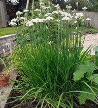 10 Stalks of Garlic Chives - Chinese Leek Plant - $28.71