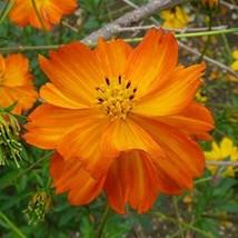 Non GMO Bulk Sulphur Cosmos Seeds - Orange Cosmos sulphureus (10 lbs) - $464.26