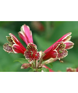 10 Fresh Tubers Admirable Alstroemeria psittacina or Parrot Lily  #IMA48 - $21.99
