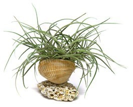 Air Plant Beach Shell House Plant Gift Planter Clam Scallop Rhinestones ... - $7.91