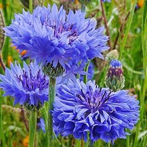 Bachelor Button Dwarf Blue 200 Seeds - $6.93