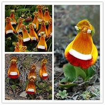 100PCS Calceolaria Uniflora Seeds Aliens Flower Seeds Garden Easy to Plant - $4.85