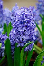 Hyacinth Absolute 5ml @ 5% Dilute (French) - $6.03