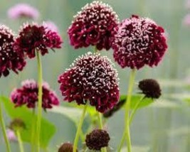 50 Pcs Seeds Ace of Spades Scabiosa - Gothic – Perennial HH01 - $15.99