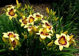 Daylily Yellow/Purp. Eye Aka Hemerocallis 'El Desperado' Live Plant Fit ... - $11.99