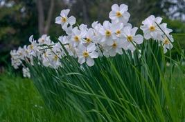 5 Large Bulbs Daffodil Actaea, Poeticus Narcissus, Pheasant's Eye Narcissi - $8.50