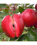 Egrow 50 Pca/Pack Red-Fleshed Apple Seeds Redlove Apple Fruit Tree Seed ... - $6.10