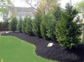 "15 Leyland Cypress trees 2 1/2"" pot (X Cupressocyparis  leylandii) image 4"