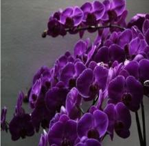 Butterfly orchid hot sale dark purple 5pcs - $2.79