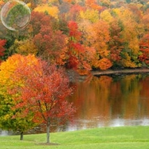 20 Seed Sugar Golden Maple Tree, DIY Beautiful Tree DO - $8.99