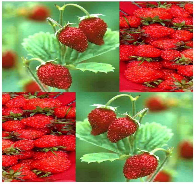 (50 Seeds) ITALIAN RED ALPINE GOURMET MINI Strawberry seeds