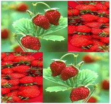 (50 Seeds) ITALIAN RED ALPINE GOURMET MINI Strawberry seeds  - $7.90
