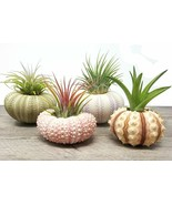 Set of 4 Sea Urchin Air Plants in Elegant Sea Shell Pots Ideal Home Offi... - $28.53