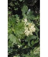 """15 Artemisia """"Oriental Limelight"""" (Artemisia vulgaris)- Rooted Plants - $21.95"""