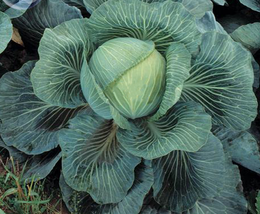 150pcs Kilaton F1 Cabbage Seeds edible green big vegetables Very Delicious - $15.94