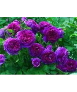 Rare Deep Purple Climbing Rose! 15 Seeds! Comb. S/H! SEE OUR STORE! - $15.48