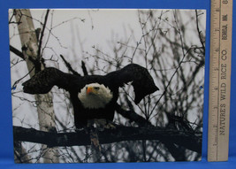 Mark Lewer Bald Eagle Flying Photograph Picture Printed on Metal Wall Ha... - $18.80