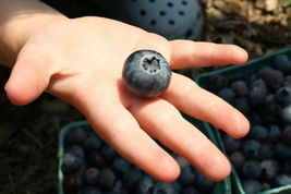 SHIPPED FROM US 2000 Dryland Blueberry Rocky Soil Waxy Blue Berries Seed... - $27.92