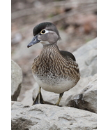 Female Wood Duck 13 x 19 Unmatted Photograph - $35.00
