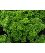 18,000 seeds - Moss Curled Parsley Heirloom - Non GMO - $18.96