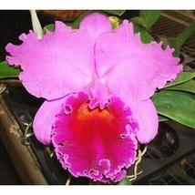 Blc Mem. Grant Eichler 'Lennette' vary Pot sz seedling S811SE - $21.85