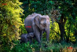 Art Digital Picture image desktop wallpaper asia Ceylon elephant picture... - $0.98