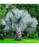 20 Seeds Perennial Plant Palm Tropical Cycas Seed Garden Rare Tree Seeds - $8.99