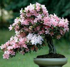20pcs Beautiful Bonsai Pinki Red Japanese Sakura Cherry Blossom Flower Seed IMA1 - $14.93