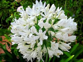 Ship From Us 25 White Lily Of The Nile African Lily Flower Seeds SBR4 - $12.00