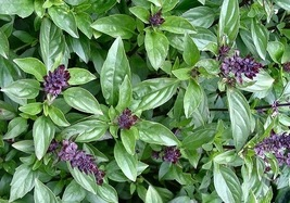 500 Seeds of Cinnamon Basil Herb, Ocimum basilicum  - $14.45