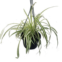 "Ocean Spider Live Plant Easy to Grow Cleans the Air 6"" Hanging Basket - €17,76 EUR"