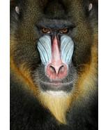Baboon Monkey Portrait Wild Animal Nature Poste... - $21.90