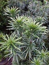 7 Year PLANT of Cephalotaxus Harringtonia Fastigiata - $356.40