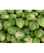 Bulk Organic Brussel Sprout Seed (5 LB) - $148.50