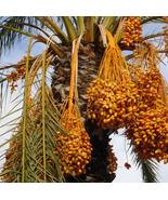 10pcs VeryTasty Medjool Date Swet Organic Fruit Natural Date Palm Tree S... - $14.99