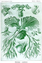 Ferns by Ernst Haekel - Art Print - $19.99+