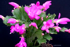"Pink Christmas Cactus Live Plant - Growing in 6"" Pot - Great Green Gift ... - $25.52"