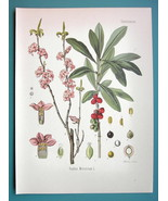 SPURGE LAUREL Medicinal Plant Daphne mezereum - Beautiful COLOR Botanica... - $28.69