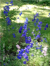 Guaranteed 100 BLUE SPIRE LARKSPUR Consolida Ambigua Delphinium Flower Seeds +Gi - $7.09