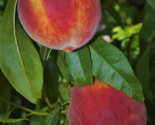 Peach Fruit Trees Live Plants Sweet Edible Landscaping Starter Seedling Sapling - €52,58 EUR