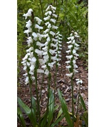 Native Orchid, Nodding Ladies' tresses, Spiranthes cernua, Fall Blooming... - $10.00