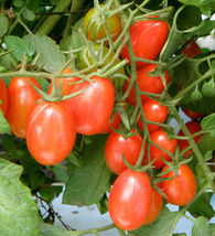 SHIP From US,25 Seeds Tami G F1 Hybrid Tomato Seeds, DIY Healthy Vegetab... - $27.99