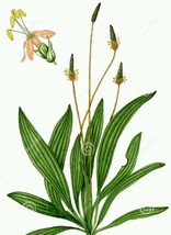 Ribwort (English) Plantain ~ 75 seeds - (Planta... - $5.50