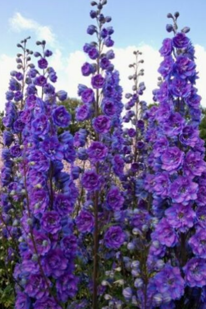 Primary image for 50 Pcs Seeds Purple Delphinium Mixed Perennial Flower - RK