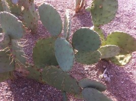 Texas Prickly Pear Cactus -3 Pads (Cuttings) - $5.00