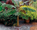 Plant musa    dwarf cavendish    banana tree  it s not seeds  01 thumb155 crop