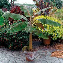 Plant Musa - 'Dwarf Cavendish' - Banana Tree (It's not seeds) - $29.11