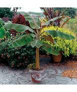 Plant Musa - 'Dwarf Cavendish' - Banana Tree (It's not seeds) - $29.11