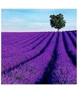 100Pcs/Pack Lavender Herb Pip Home Balcony Garden Aromatic Plants Flower... - $9.99